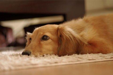 ペット室内犬