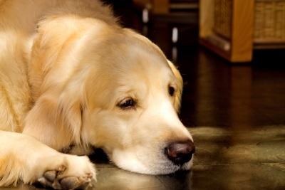 室内犬 ペットのワンちゃん